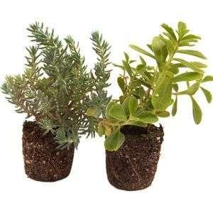 Sedum-Pflanzen