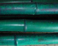 bambusrohr-moso-gruen