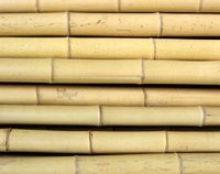 bambusrohr-moso-gelb