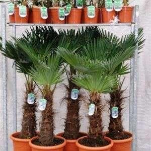 trachycarpus-fortunei-mixtrolley