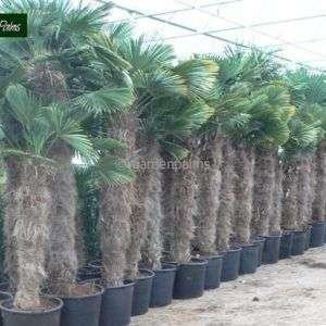 trachycarpus-wagnerianus-3
