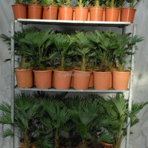 trachycarpus-wagnerianus-mixtrolley