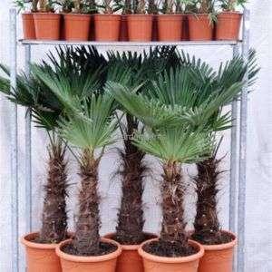trachycarpus-wagnerianus-mixtrolley3