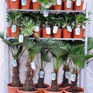 trachycarpus-wagnerianus-mixtrolley2
