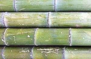 bambusrohr-moso-naturfarben